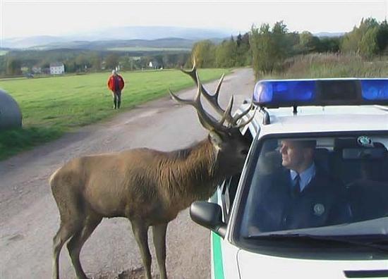 Hirsch zur Polizei